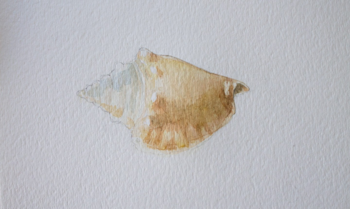 building shadows on conch shell watercolor