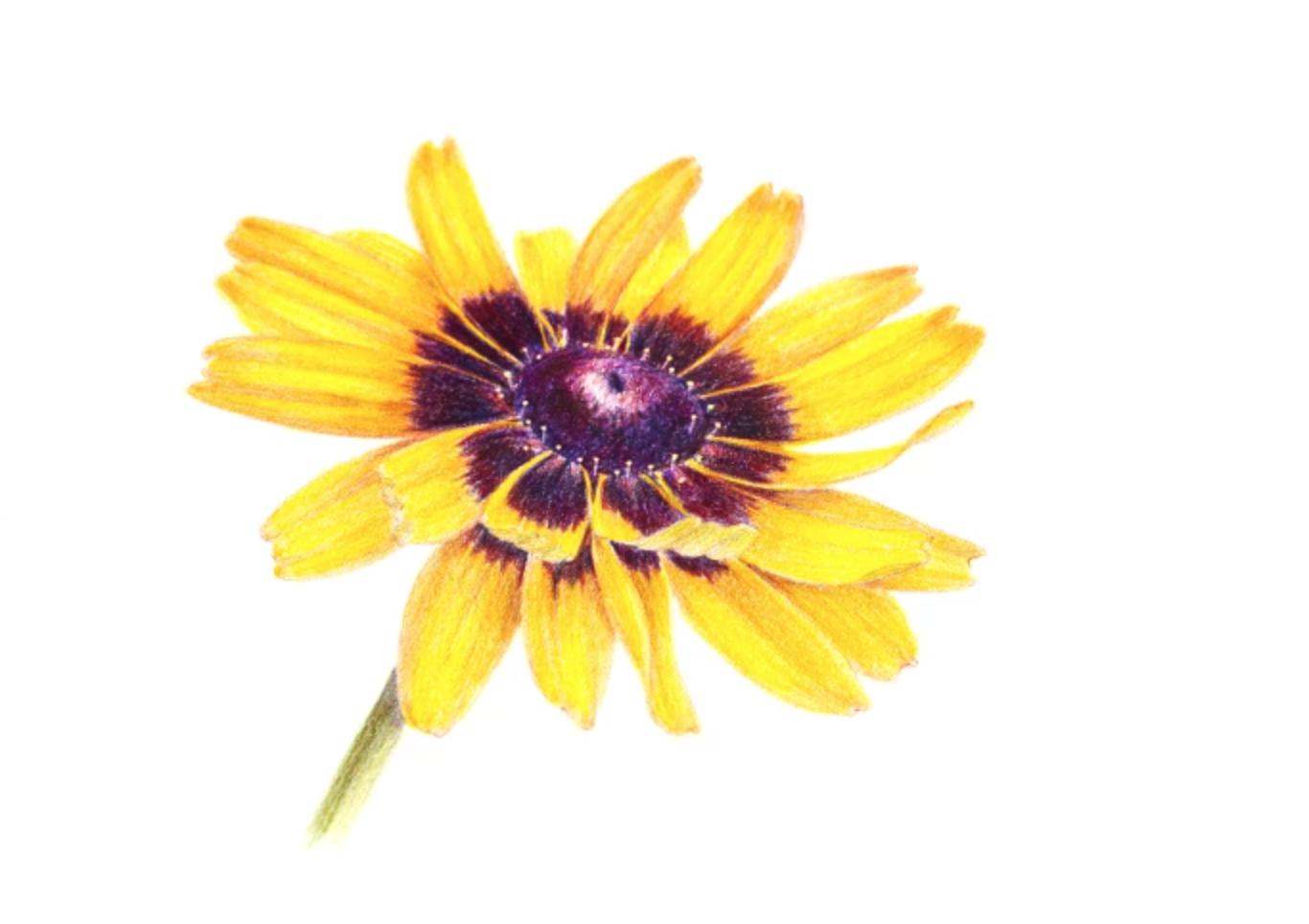 colored pencil black-eyed susan