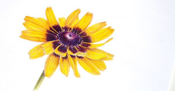Colored pencil drawing of a yellow flower