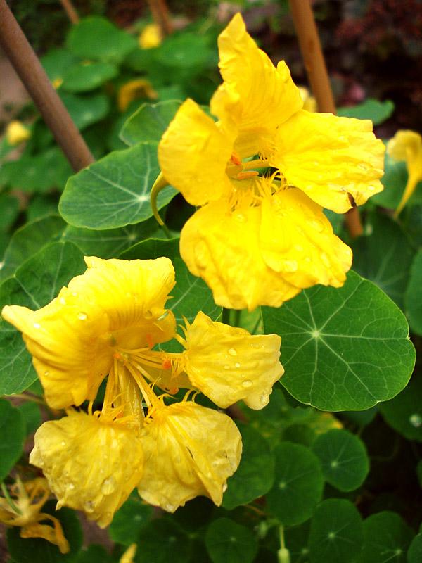 Yellow Nasturtium Flowers