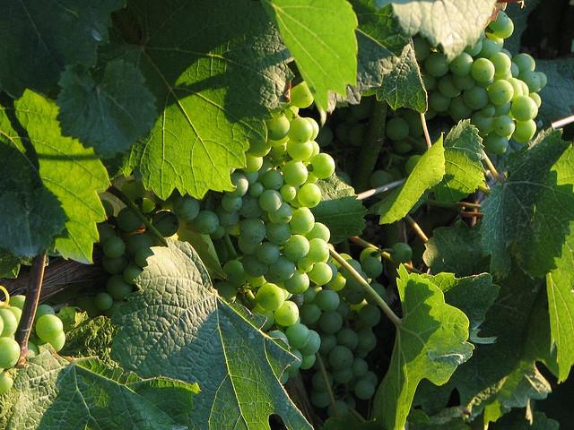 Fresh Grapes on Vine