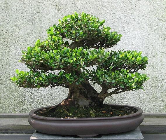 Eurya emarginata bonsai tree