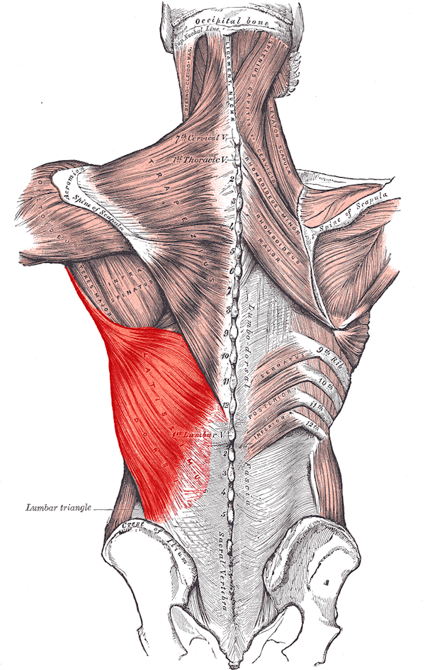 Drawing the Human Torso- Back Muscle groups