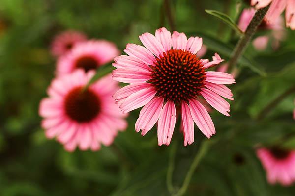 Echinacea flower - Craftsy.com Gardening Blog