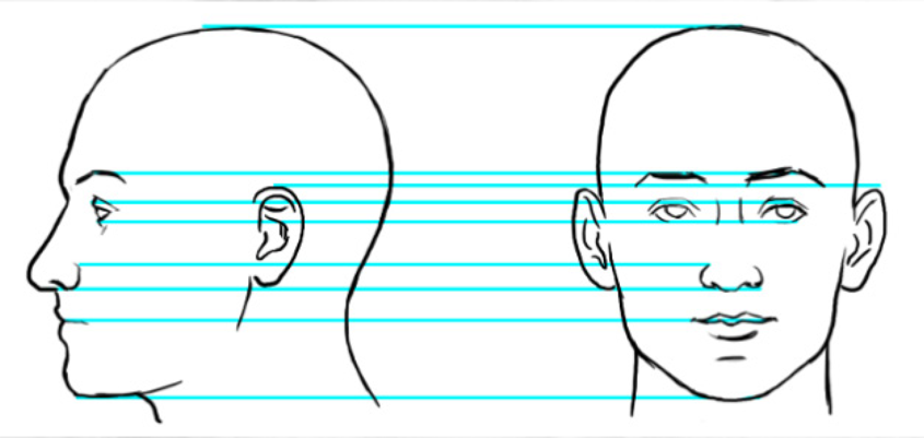 Facial Proportions Illustration
