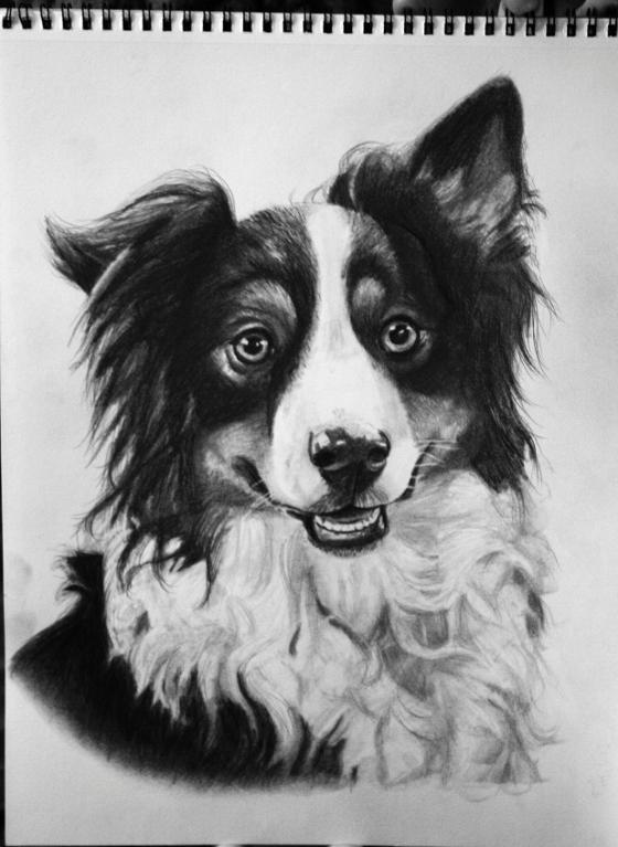 Shepherd Dog Drawing