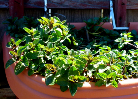 Chocolate mint growing in a container. The herb mint is one of best shade tolerant vegetables