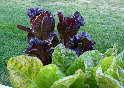 Bolting lettuce shows what happens when greens get too much sun. Lettuces are among the most shade tolerant vegetables