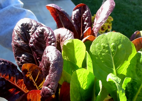 Lettuces are among the best shade tolerant vegetables