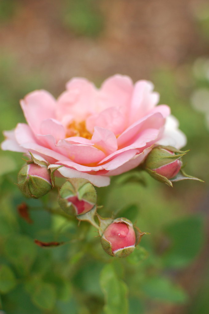 Pink Rose in Full Bloom