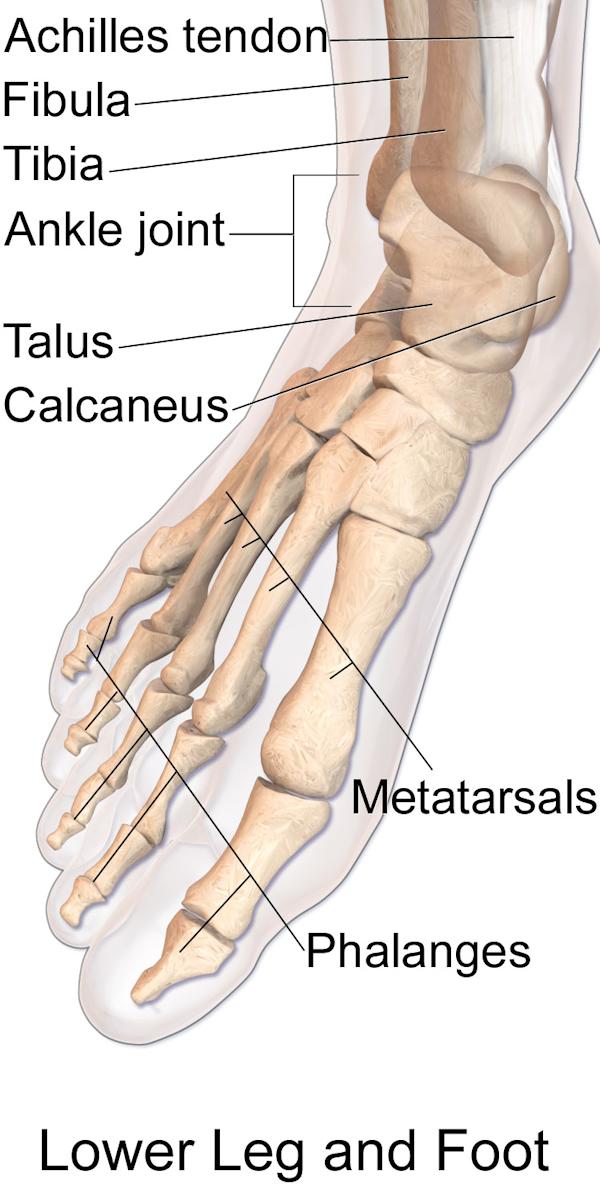 Anatomy of the human foot
