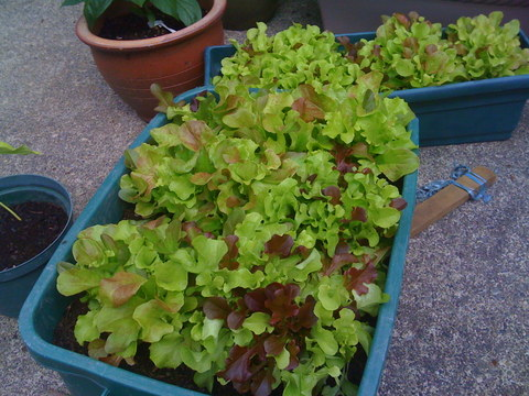 Growing vegetables in containers, like lettuces and salad greens, is fun.