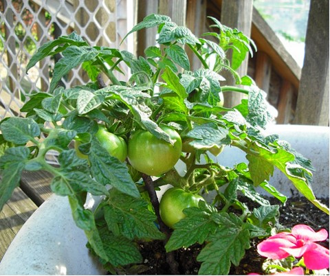 Patio Tomato grow great in containers