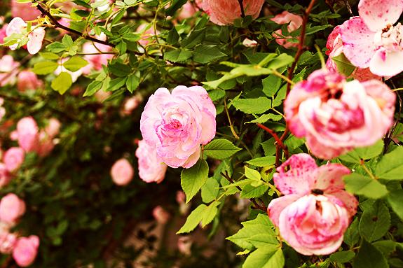 flowering rose bush