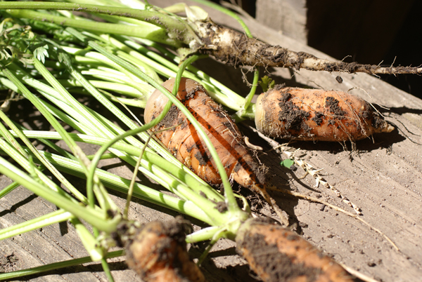 Homegrown Carrots - Bluprint.com
