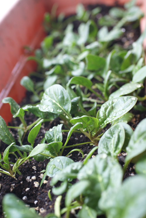 spinach growing in a window box