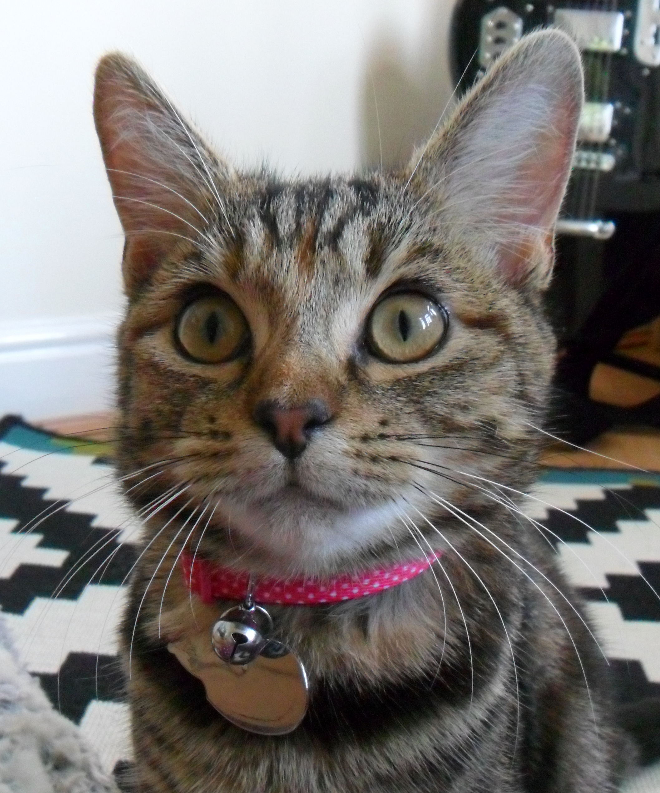 Photograpf of tabby cat in a pink collar