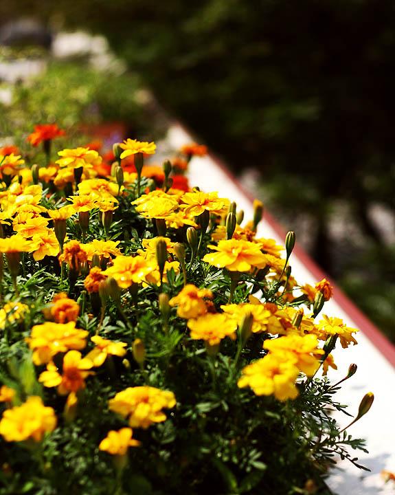 yellow marigold flowers