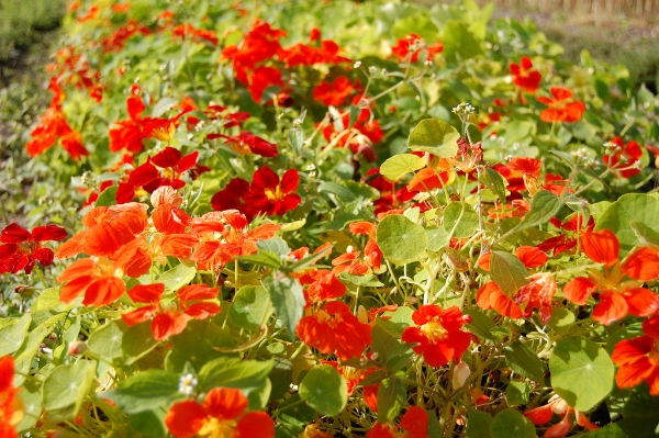orange nasturtium flowers in an edible flower garden