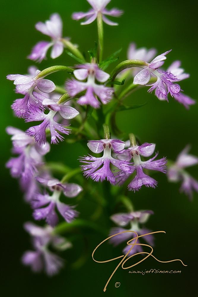Raindrops on periwinkle flowers
