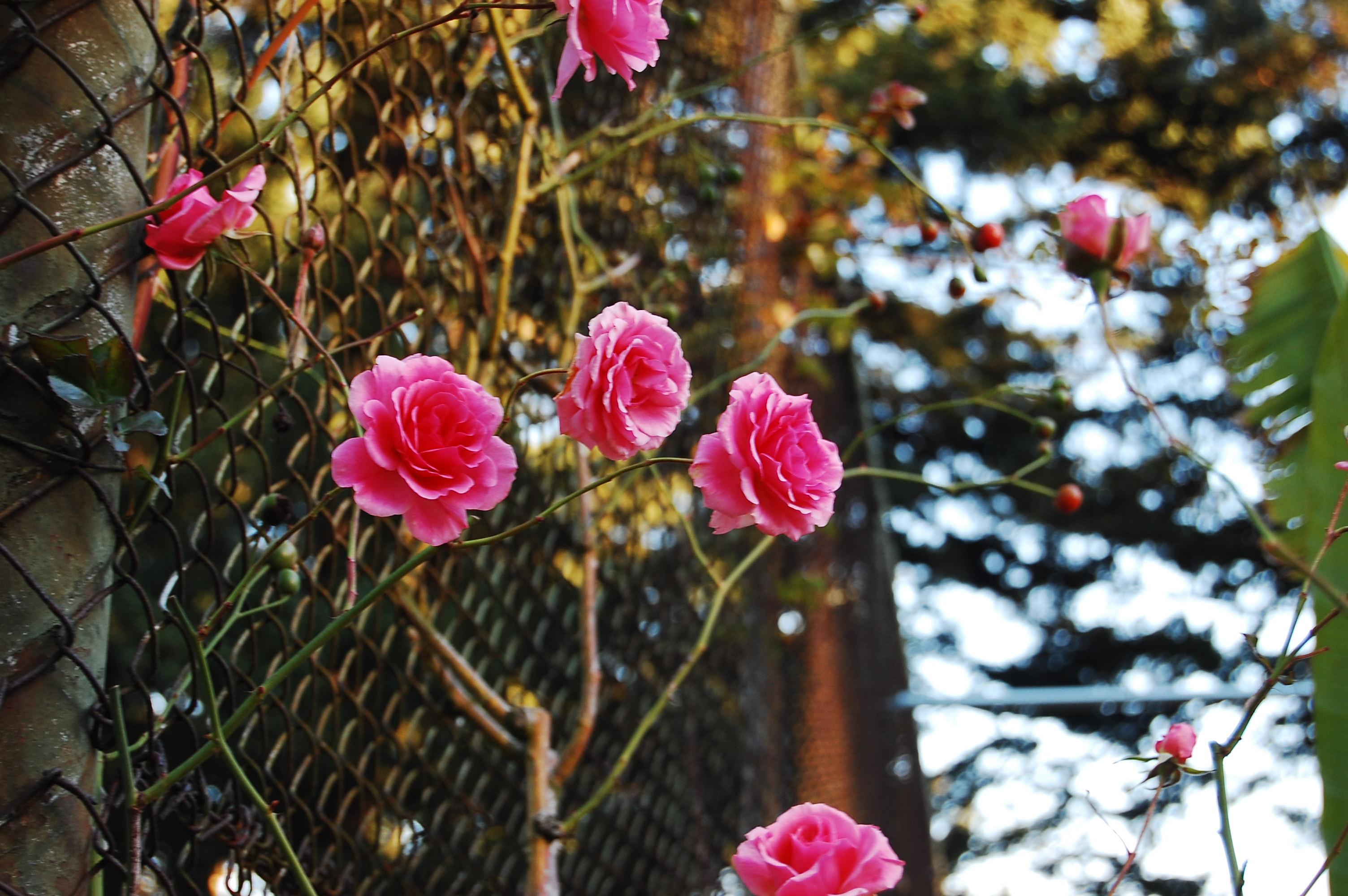 Pink Climbing Roses