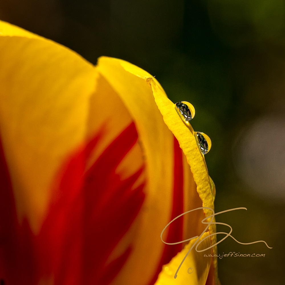 Raindrops on a tulip petal