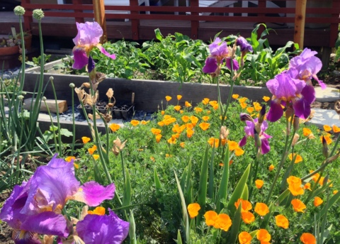 Iris and California poppies grow near corn, lettuce and onions in this edible garden plan