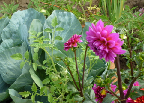 Mix vegetable and flower gardens. Here are cabbages, tomatoes and dahlia flowers planted together.