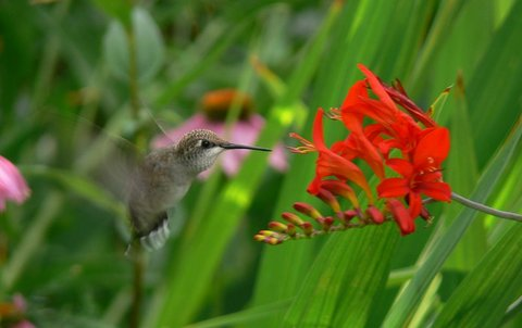 Hummingbird pollinates flower in certified wildlife habitat