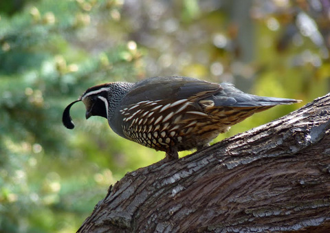 Quail rests in a certified wildlife habitat in Idaho