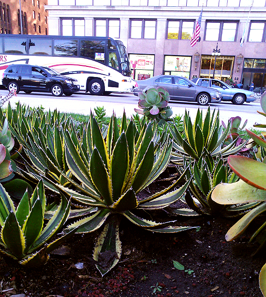 Agaves growing in Chicago