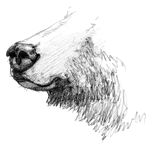 Drawing of a grizzly bear's nose