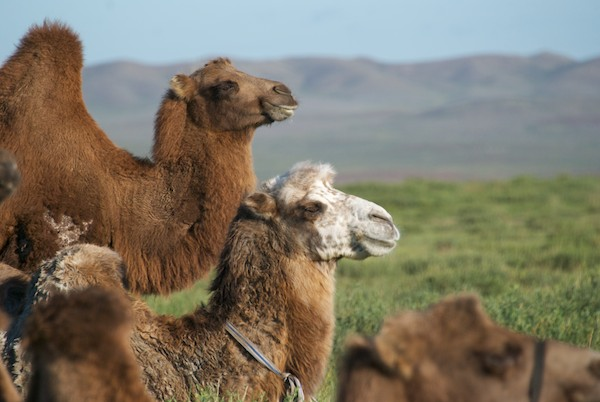 Reference photo fo a Bactrian camel in Mongolia