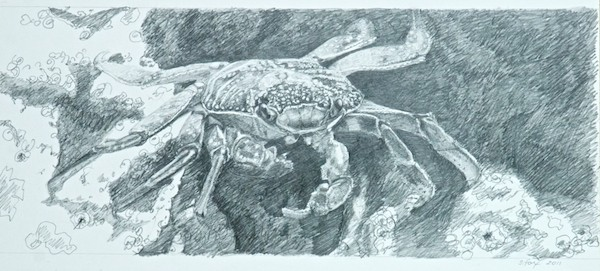 Final Sketch of Crab prior to painting