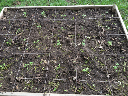raised bed measured out by the square foot