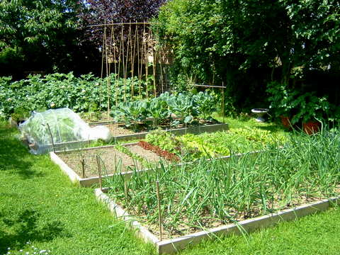 Early June garden with raised beds for crop rotation