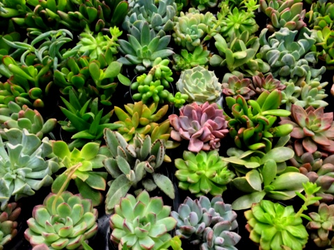 gardening with succulents gives you lots of plant options