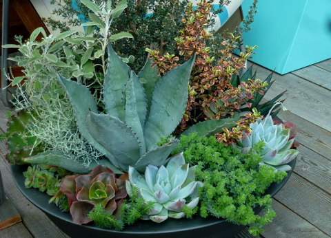 Contemporary container with agaves, echeverias, sedums and other plants