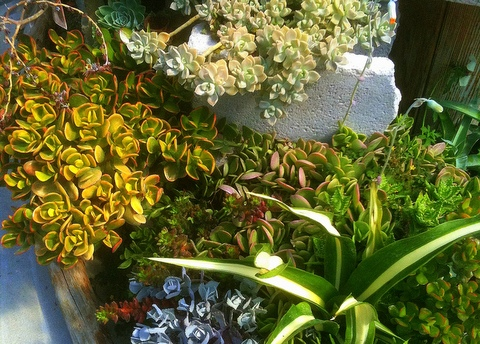 gardening with succulents like crassula and furcraea in well-drained soil