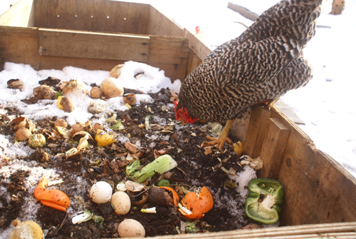 compost box with chicken