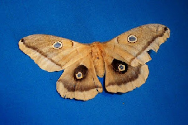 Silk moth native to North America