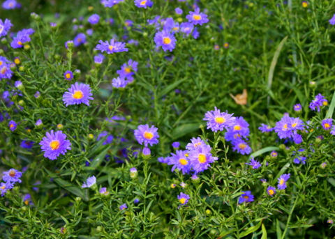 Asters attract many seed-eating birds to the garden