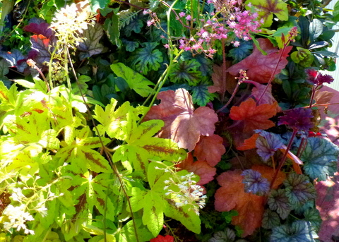 Coral bells are plants with different leaf colors and sizes.
