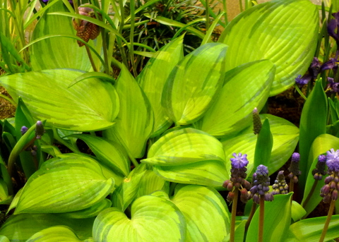 Hosta and spring bulbs show off foliage