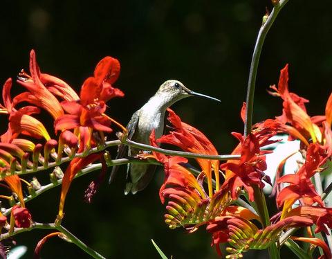 Hummingbird sits on croscosmia 'Lucifer' blossom