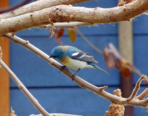 A lazuli bunting sits on a tree branch.