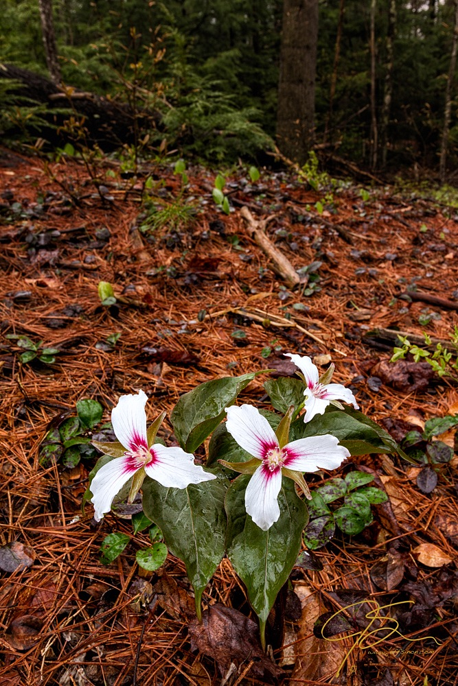 Three painted trillium on the forest floor.
