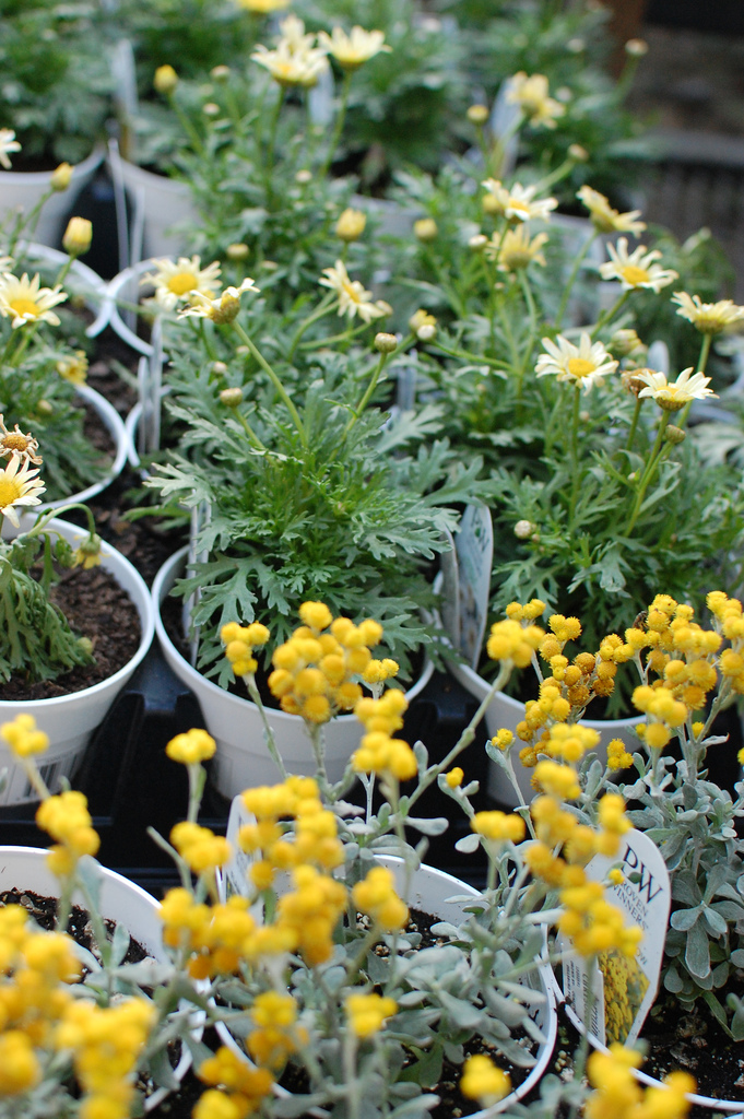 Pretty Potted Yellow and White Flowers