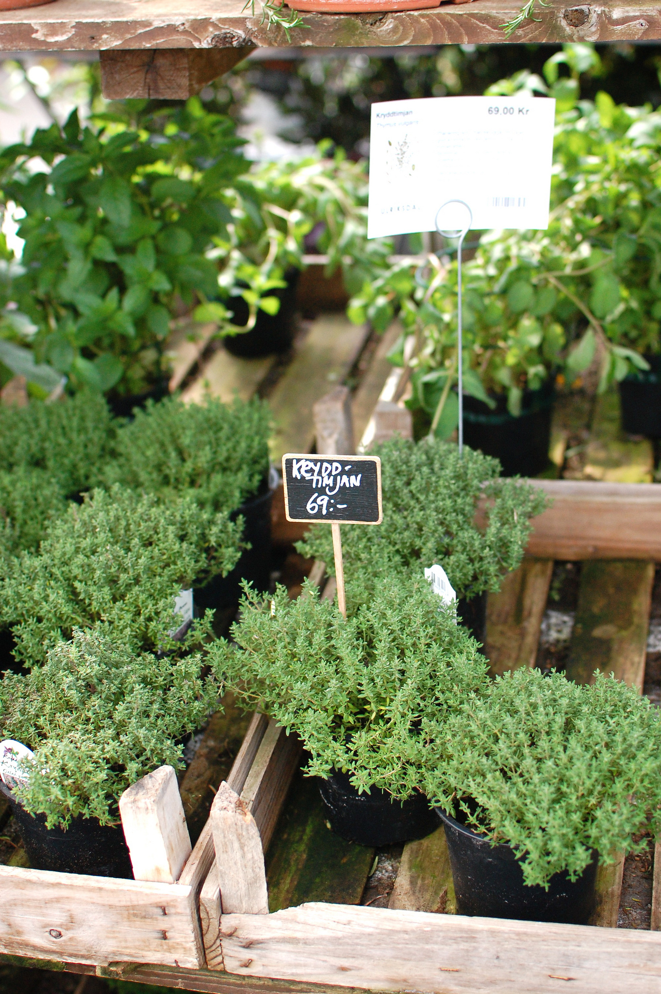 Potted Thyme Plants