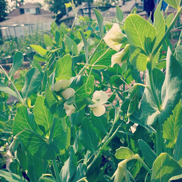pea plants growing in a garden